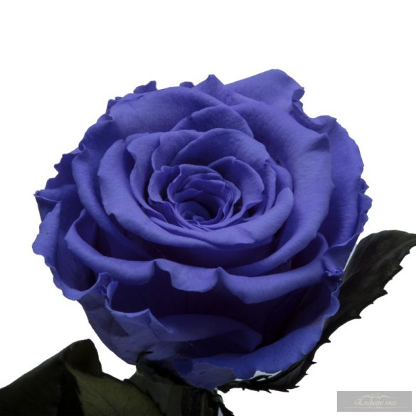 Lila Örök Rózsa kicsi búrában